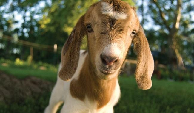 cute goat Odds Farm