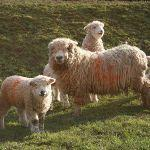 grayface-sheep-with-lambs-at-odds-farm-park-150x150