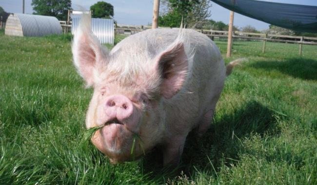 pigs odds farm park