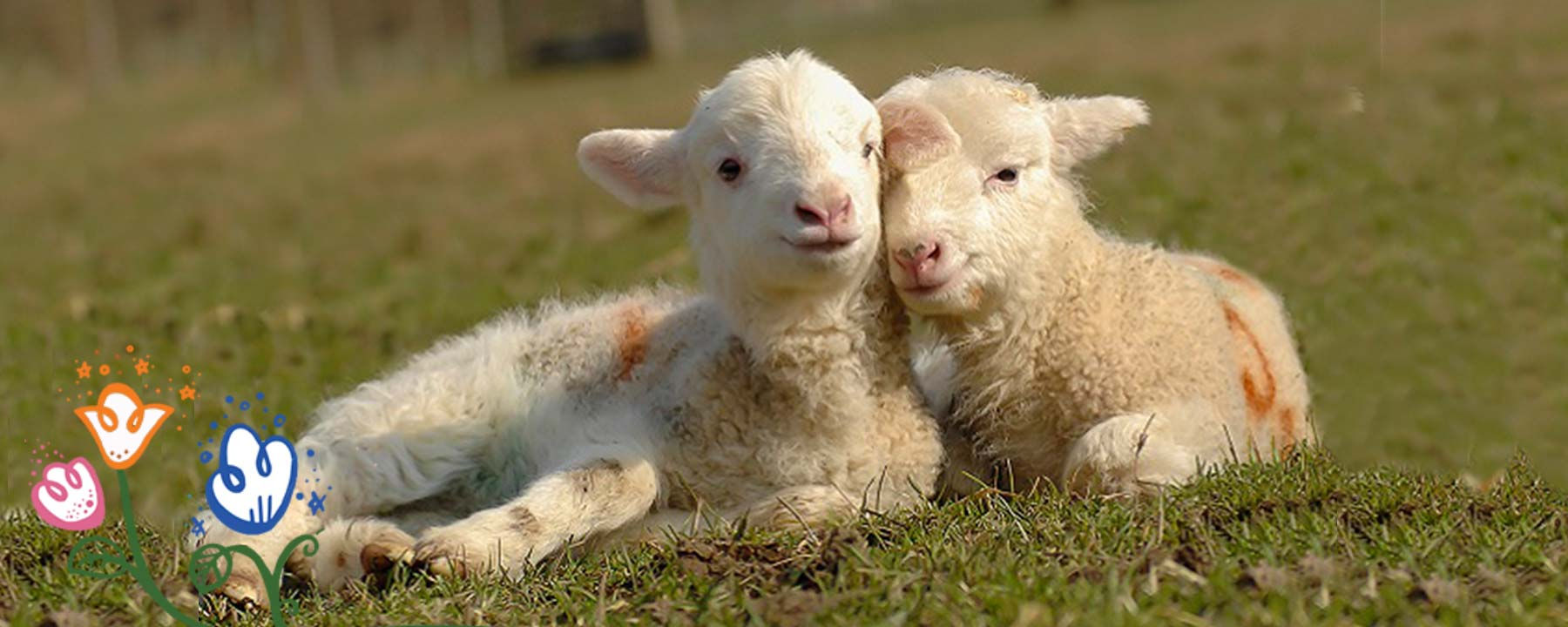lambing at odds farm park
