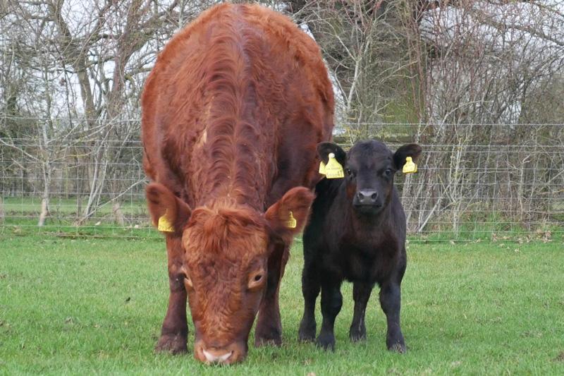 dexter cows at odds farm park